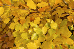 Yellowleaves. arkivbilder