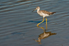 Yellowlegs Royalty Free Stock Photo