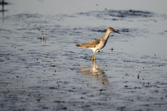 Yellowlegs Stock Images
