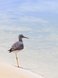Yellowlegs Royalty Free Stock Photos