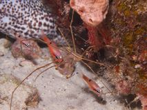 Yellowline Arrow Crab 03 Stock Photo