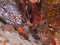 Yellowline Arrow Crab 01 Stock Photo