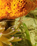 Yellowline arrow crab between sponge and anemone Stock Photography