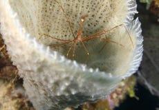 Yellowline arrow crab in sponge,roatan,honduras Stock Photo