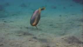 Yellowmargin引金鱼游泳 影视素材