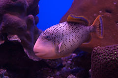 yellowmargin för bareikaegypt marsa tagen triggerfish Royaltyfri Foto