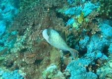 yellowmargin för bareikaegypt marsa tagen triggerfish Arkivbild