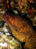 Yellowmargin Moray Royalty Free Stock Photography