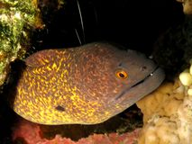 Yellowmargin Moray Royalty Free Stock Image