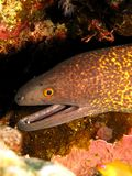Yellowmargin Moray Royalty Free Stock Images