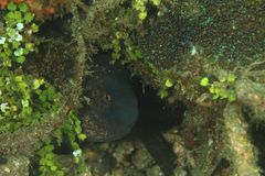 Yellowmargin moray - Gymnothorax flavimarginatus. Hiding in a hole among sea weed in Lembeh Strait, North Sulawesi, Indonesia Royalty Free Stock Image