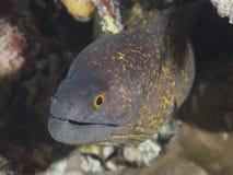 Yellowmargin Moray Royalty Free Stock Photography