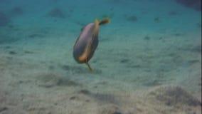 Yellowmargin triggerfish που κολυμπά φιλμ μικρού μήκους