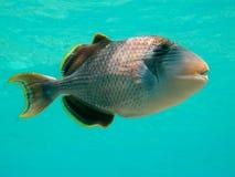 Yellowmargin triggerfish Stock Photo