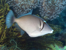 Yellowmargin triggerfish Arkivbilder