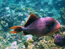 Yellowmargin triggerfish Royalty Free Stock Photos