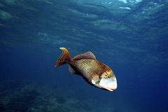 Yellowmargin Triggerfish, Kapalai Island, Sabah Royalty Free Stock Photography