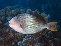 Yellowmargin triggerfish. In red sea stock photo