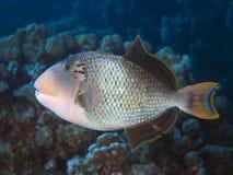 Yellowmargin triggerfish Stock Foto