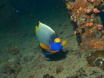 Yellowmask Angelfish Royalty Free Stock Image