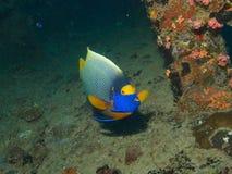 Yellowmask havsängel Royaltyfri Bild