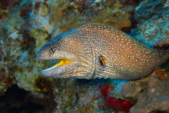Yellowmouth moray Royalty Free Stock Image