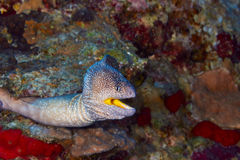 Yellowmouth moray Royalty Free Stock Images