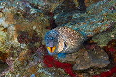 Yellowmouth moray Royalty Free Stock Photography