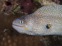 Yellowmouth murena zdjęcie royalty free