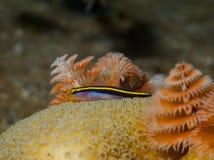 Yellownose虾虎鱼和圣诞树蠕虫01 库存图片