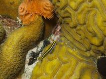Yellownose虾虎鱼和圣诞树蠕虫02 库存图片