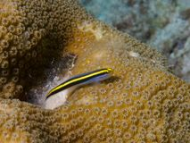 Yellownose虾虎鱼03 免版税库存图片