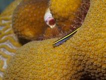 Yellownose Goby 02 Zdjęcia Royalty Free