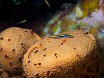 Yellownose Goby 04 Immagine Stock