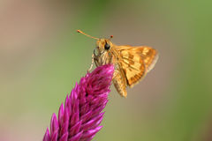 Yellowpatch Skipper Royalty Free Stock Images
