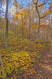 Yellows in the Forest in Fall Royalty Free Stock Photos