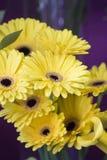 Yellows gerberas Stock Photo