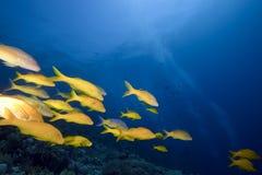 Yellowsaddle goatfish stock photos