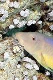 Yellowsaddle Goatfish Stockfotografie