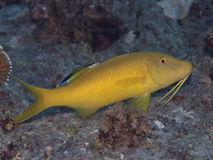 Free Yellowsaddle Goatfish Stock Image - 41318831