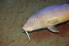 Yellowsaddle goatfish Royalty Free Stock Photo