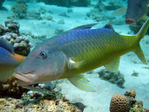 Yellowsaddle goatfish Royalty Free Stock Images