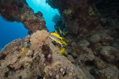 Yellowsaddle goatfish and aquatic life in the Red Sea. Royalty Free Stock Photography