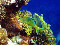 Yellowsaddle goatfish couple. A couple of yellowsaddle goatfish in red sea coral reef Stock Photo