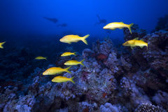 Free Yellowsaddle Goatfish In The Red Sea. Royalty Free Stock Photo - 19063675