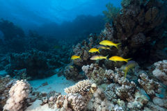 Free Yellowsaddle Goatfish In The Red Sea. Stock Images - 22167254