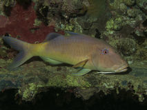 Yellowsaddle goatfish Royalty Free Stock Photo