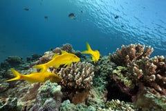 Yellowsaddle goatfish and ocean Royalty Free Stock Images