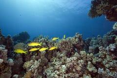 Yellowsaddle goatfish and ocean royalty free stock photos