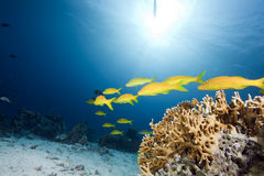 Yellowsaddle goatfish,ocean and coral Royalty Free Stock Images